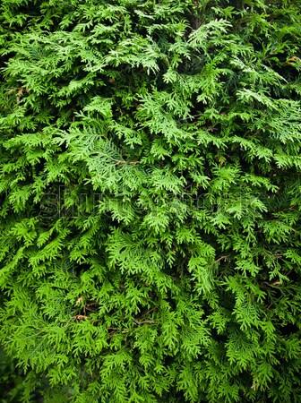 кедр текстуры природы зеленый завода растений Сток-фото © aetb