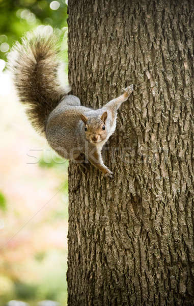 Squirrel on a tree Stock photo © aetb