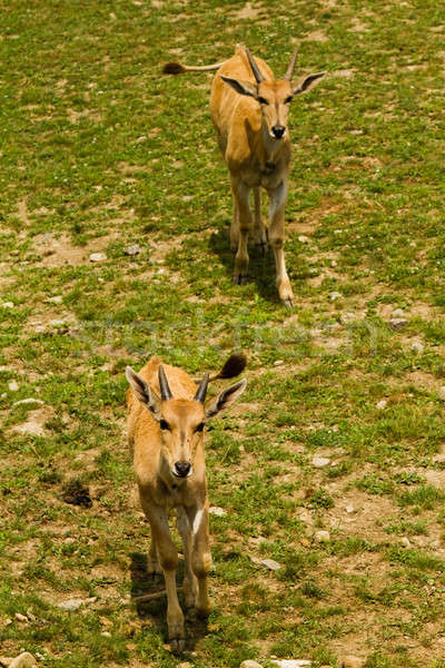Roe deer in the wild Stock photo © aetb