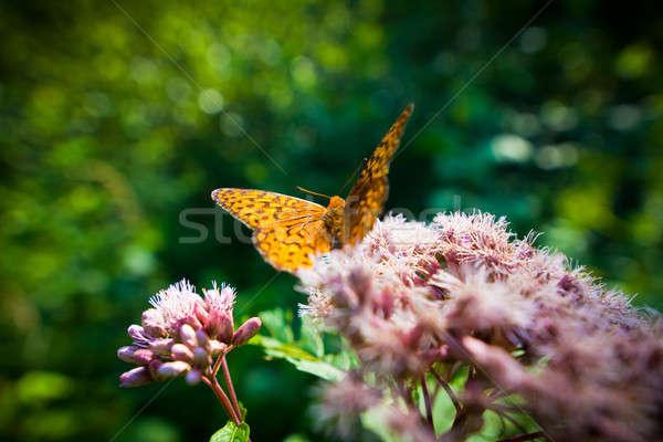 Kelebek çiçek bahçe yaz turuncu Stok fotoğraf © aetb