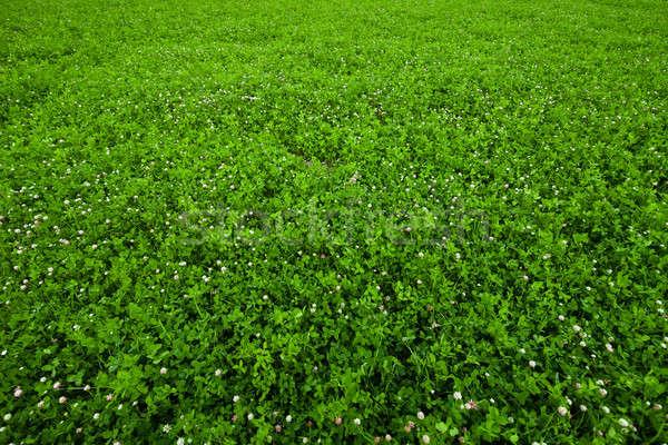 Texture overgrown clover Stock photo © aetb