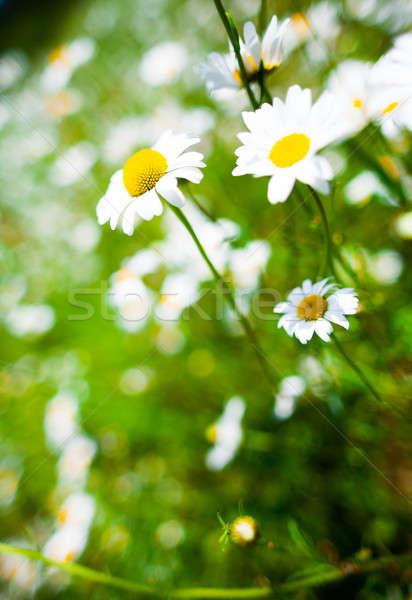 Detail mooie daisy bloem natuur hemel Stockfoto © aetb