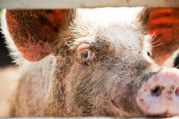 Porc oeil regarder caméra amusement Photo stock © aetb