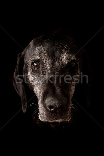 Sad Old Dog Looking at the Camera Stock photo © aetb