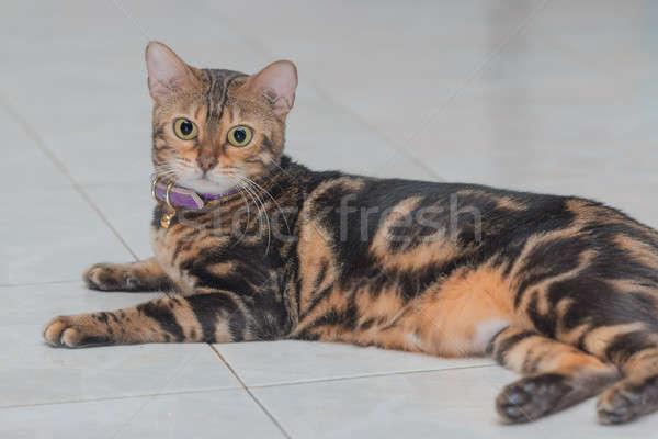 Gatti cat grigio sfondo Foto d'archivio © AEyZRiO