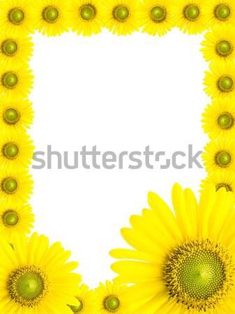 Girasole frame isolato bianco primavera sole Foto d'archivio © AEyZRiO