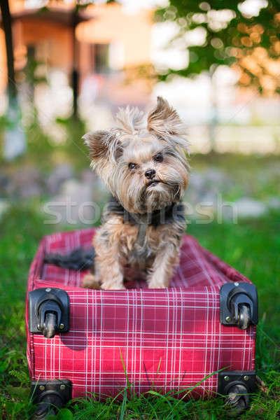 Йоркшир терьер сидят красный чемодан глядя Сток-фото © Agatalina