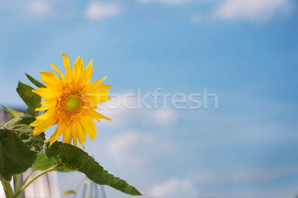Sunflower and blue sky background Stock photo © Agatalina