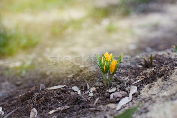 żółty słońce migotać wiosną kwiat środowisk Zdjęcia stock © Agatalina