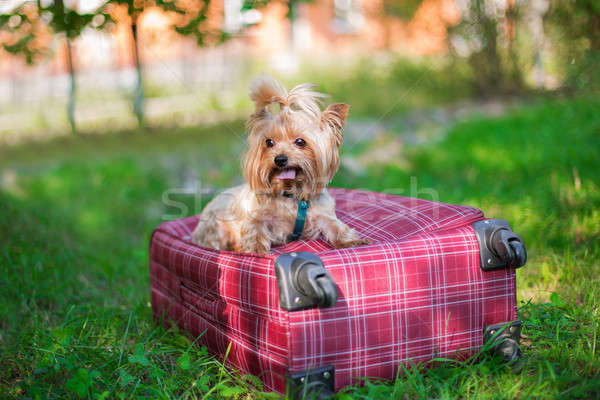 Yorkshire Terrier sitting on suitcase and looking away Stock photo © Agatalina