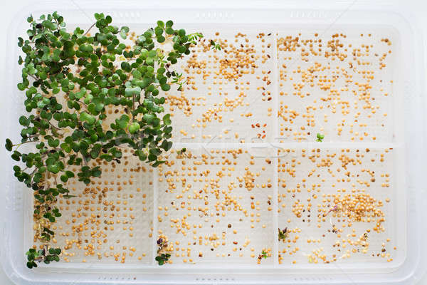 Germinated sprouts and seeds Stock photo © Agatalina