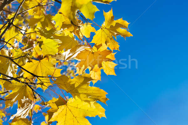 желтый клен листьев филиала Blue Sky синий Сток-фото © Agatalina