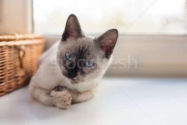Thai cute kitten Stock photo © Agatalina