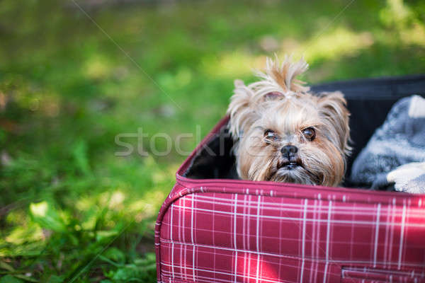 Yorkshire Terrier sitting into suitcase Stock photo © Agatalina