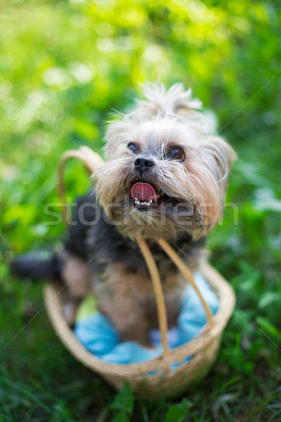 Yorkshire Terrier sitting in basket  Stock photo © Agatalina