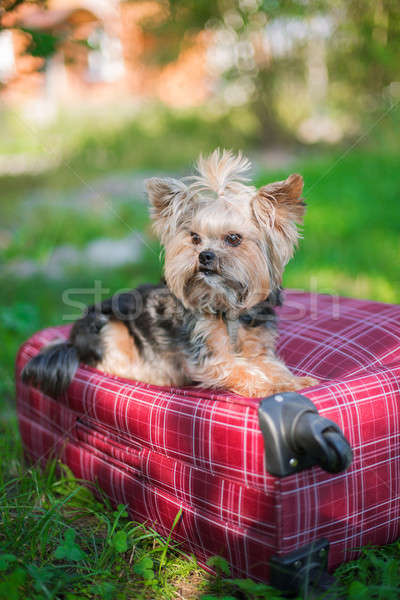 Stock photo: Yorkshire Terrier sitting on suitcase
