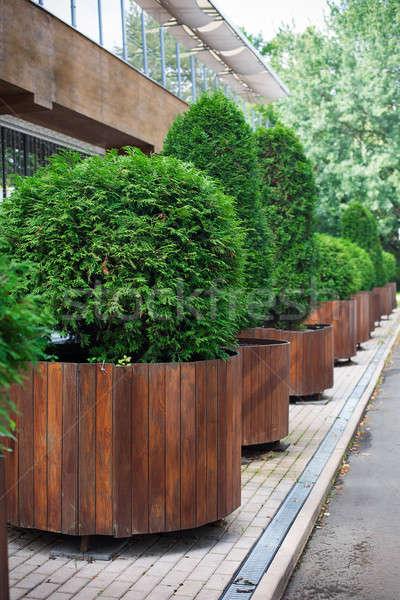 Row of thuyas in tubs Stock photo © Agatalina