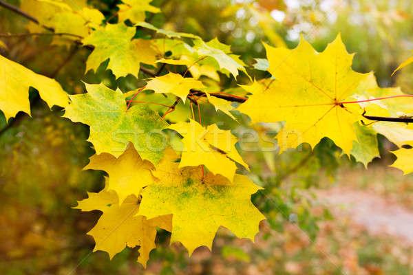 żółty klon pozostawia oddziału charakter zielone Zdjęcia stock © Agatalina