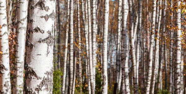 Nyírfa erdő tájkép késő ősz tavasz Stock fotó © AGorohov
