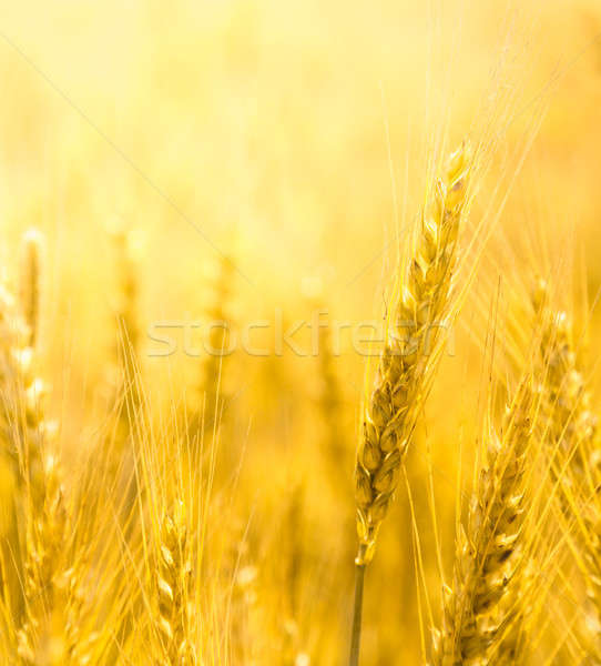Closeup view of wheat ear Stock photo © AGorohov
