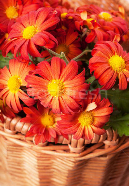 Chrysanthemum in a basket Stock photo © AGorohov