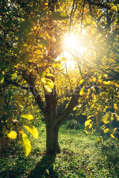Luz del sol otono jardín árbol caliente forestales Foto stock © AGorohov