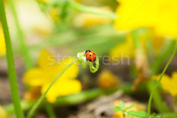 Coccinella macro view seduta verde vite Foto d'archivio © AGorohov