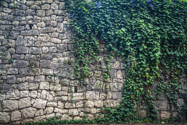 Ivy climbing the old wall Stock photo © AGorohov