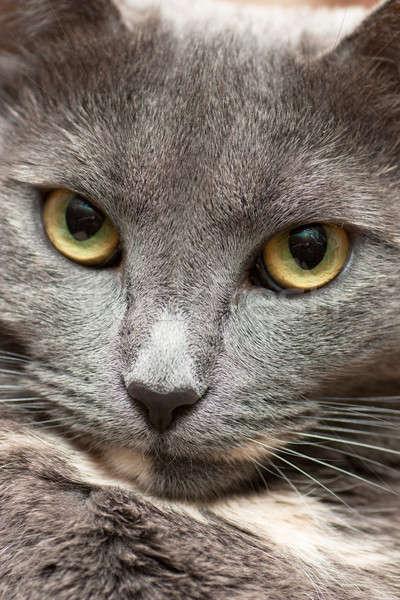 Macskák arc közelkép kilátás higgadt macska Stock fotó © AGorohov