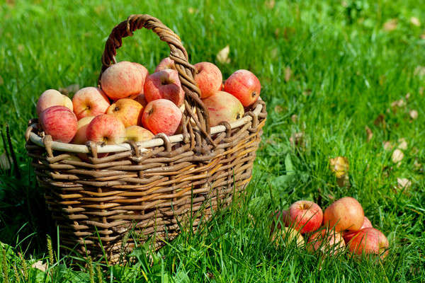 Apples in a basket Stock photo © AGorohov