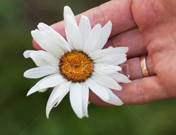 Kamille macro hand trouwring vinger Stockfoto © AGorohov