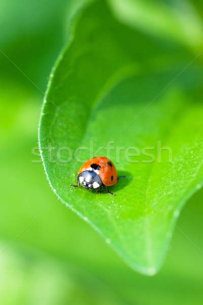 Ladybird Stock photo © AGorohov
