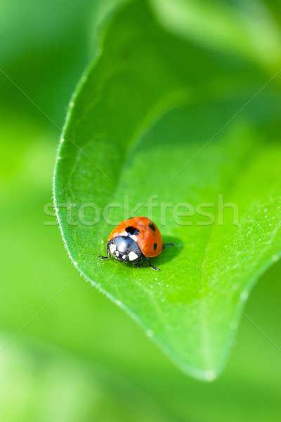 Uğur böceği makro görmek oturma yeşil yaprak bahar Stok fotoğraf © AGorohov