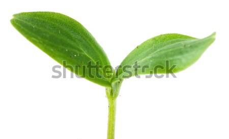 Sprout Stock photo © AGorohov