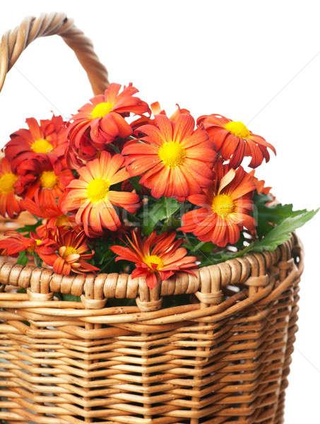 Foto stock: Crisantemo · cesta · rojo · blanco · flor