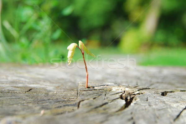 New sprout Stock photo © Aikon