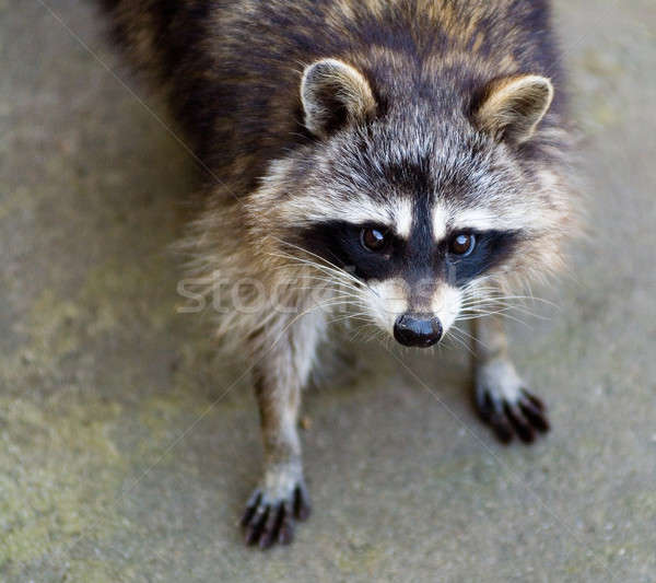 Sad raccoon Stock photo © Aikon