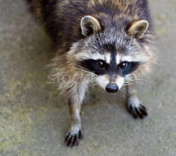 Triest wasbeer naar gezicht bos masker Stockfoto © Aikon