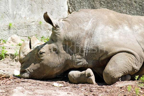 White rhinoceros pensive Stock photo © Aikon