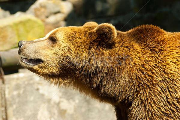 Niedźwiedź brunatny lata dzień zoo lasu charakter Zdjęcia stock © Aikon