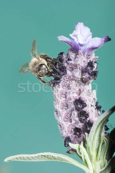 ストックフォト: クローズアップ · 蜂 · 花 · 自然 · 庭園 · 背景