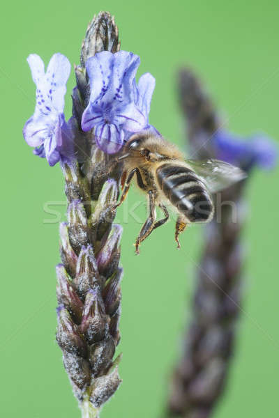 Flying Bee Stock photo © Aitormmfoto