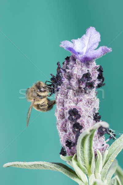 Bee bloem natuur tuin achtergrond Stockfoto © Aitormmfoto