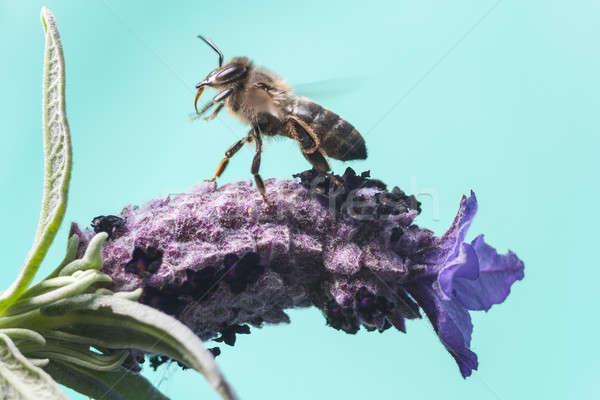 飛行 蜂 花 自然 庭園 背景 ストックフォト © Aitormmfoto