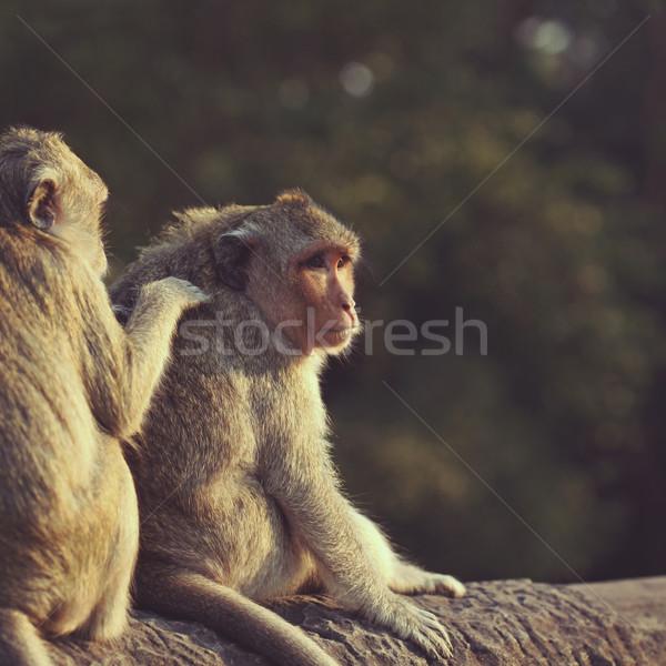 Macacos macaco antigo ruínas Angkor Wat natureza Foto stock © ajfilgud