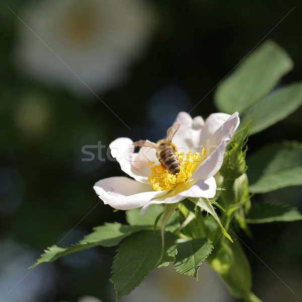Bee цветок пыльца природы саду Сток-фото © ajfilgud