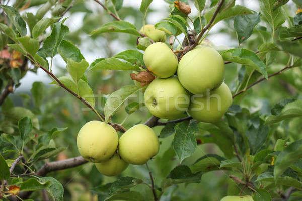 здорового свежие органический яблоневый сад филиала зеленый Сток-фото © ajfilgud