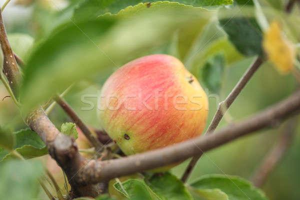Saine fraîches organique verger de pommiers branche vert Photo stock © ajfilgud