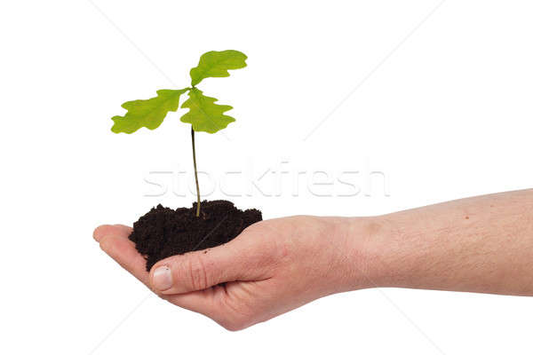Hand with young oak tree Stock photo © ajt