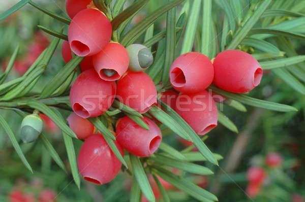 Yew-tree berries Stock photo © ajt